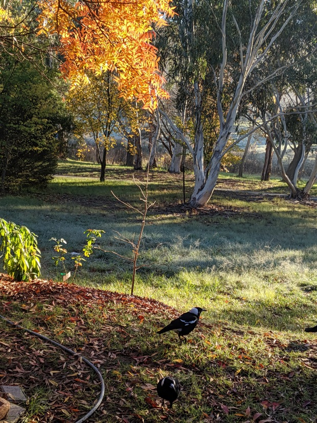 front-yard-magpies